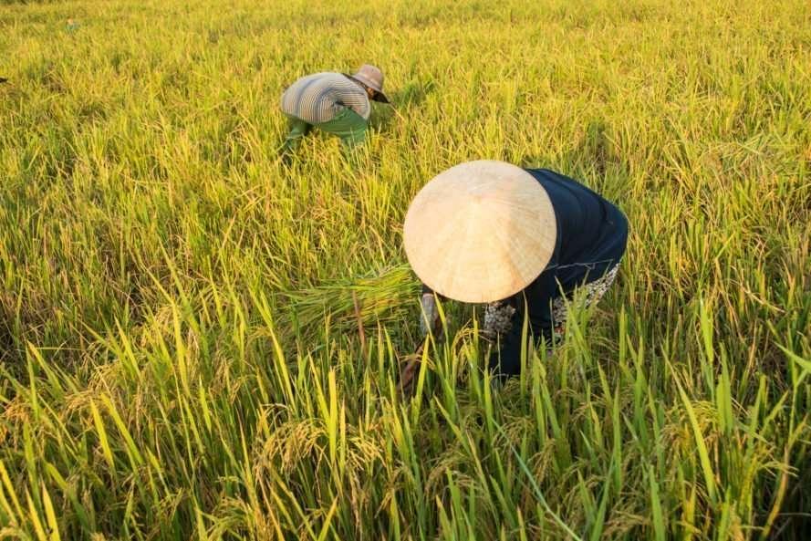 community rice harvest Hoi An